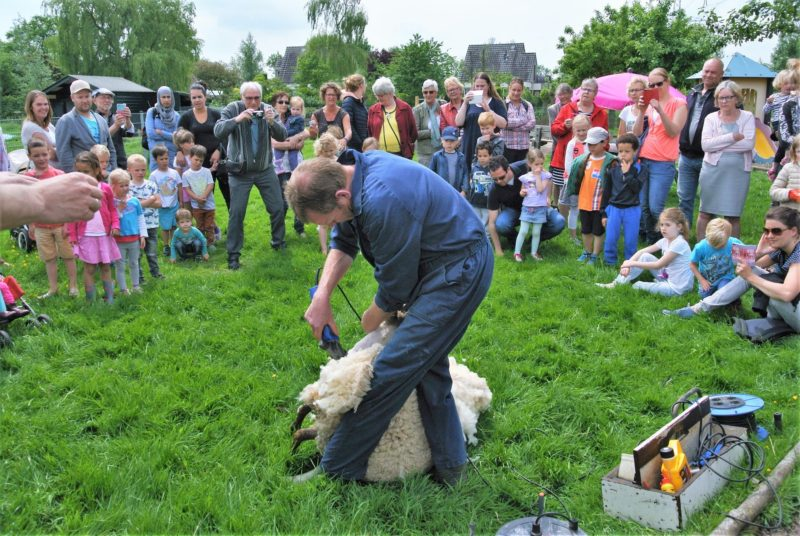 Gouda Goverwelle - Activiteiten - Wijk - Jaarlijkse schapen scheren